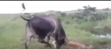ВИДЕО содрогнувшее мир! Корова жестко отомстила анаконде за убийство теленка