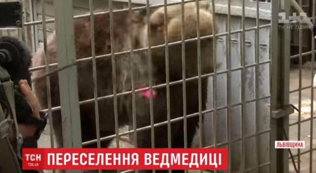Буру ведмедицю з Львова врятували зоозахисники, та перевезли до притулку (ВІДЕО)