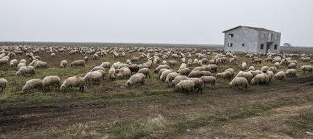 """В Румынии отара овец """"оцепила"""" базу НАТО"""