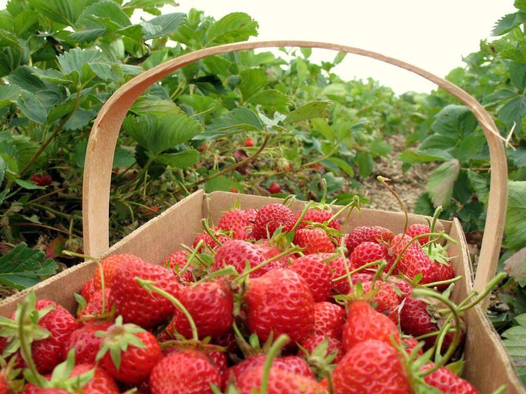 Украинские фермеры увеличили плантации клубники