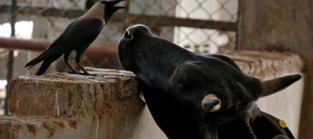 Поголовье рогатого скота, свиней и овец в Украине уменьшилось