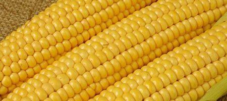 Китай стал основным импортером украинской кукурузы