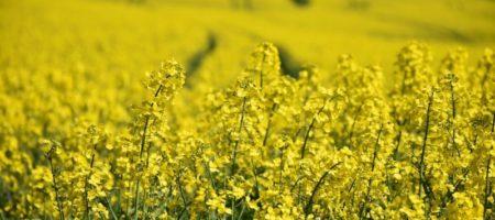 Украинские аграрии в этом году собрали 3,1 млн тонн рапса
