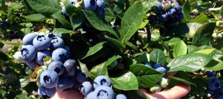 На Прикарпатье планируют создать агрохаб по выращиванию голубики
