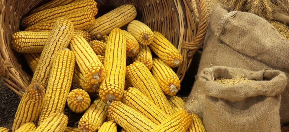 Засуха на треть снизила урожайность кукурузы на Житомирщине