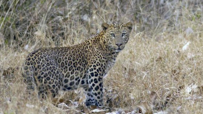 """Сеть взорвал новый флешмоб: """"Найди леопарда!?"""" (ФОТО)"""