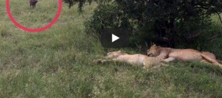 Беспечный кабан не на шутку разозлил грозных львов. ВИДЕО