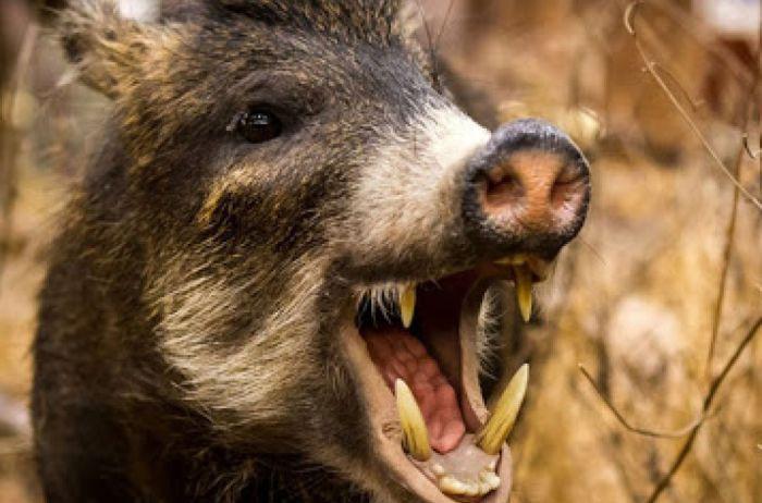 На Прикарпатье 10 человек не могли поймать дикого кабана. ВИДЕО