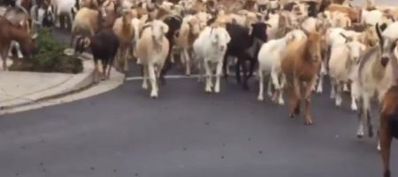 Двести козлов сбежали от фермера и захватили город. ВИДЕО