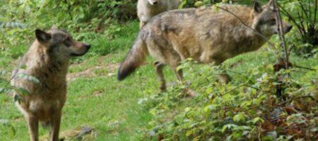 Стая волков чуть не загрызла ЛНРовцев на позициях