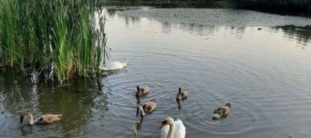 В Ужгороде подростки забросали семью лебедей камнями