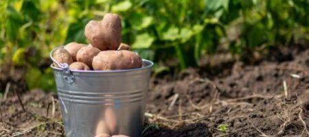 Украинцам подсказали, когда нужно копать картошку