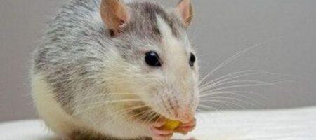 Толкование сновидений: к чему снятся крысы
