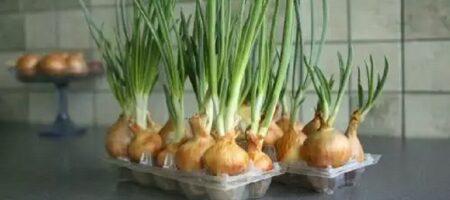 Зелень к Новому Году. Интересный способ выращивания в яичных решетках
