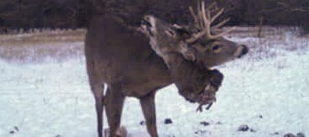 В рогах оленя застряла оторванная голова (КАДРЫ 18+)