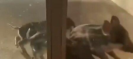 Дикие свиньи пытались пробраться на территорию Запорожской АЭС