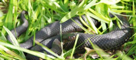 На Киевщине ребенка укусила неизвестная ядовитая змея