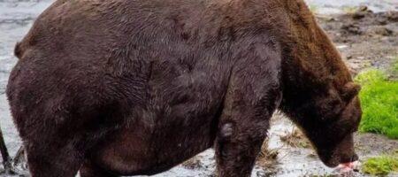 Пора на диету: на Аляске обнаружили упитанного медведя-рекордсмена (ВИДЕО)