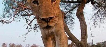Львица съела камеру, появилось ВИДЕО из пасти хищника