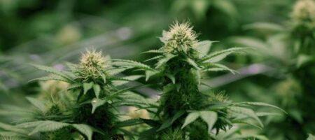 В Раде назвали сроки легализации медицинской марихуаны