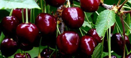 Фермеры уничтожают урожай черешни (ВИДЕО)