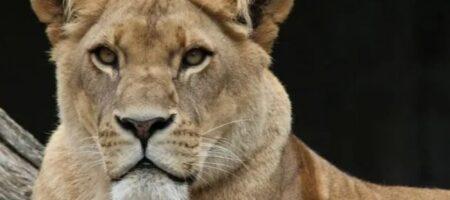 В России лев набросился на ребенка во время фотосессии