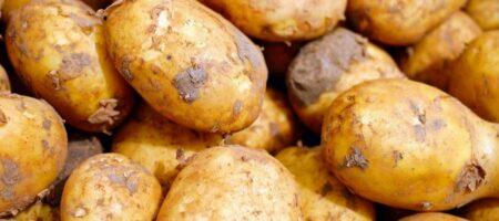 Украине грозит дефицит картофеля: продавать будут даже кормовые сорта